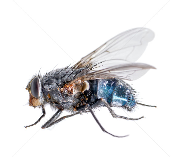 dead blue fly Stock photo © prill
