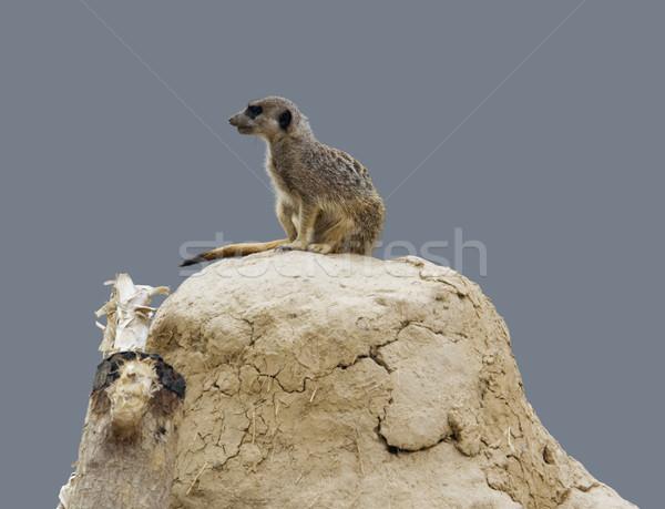Meerkat on earth pile Stock photo © prill