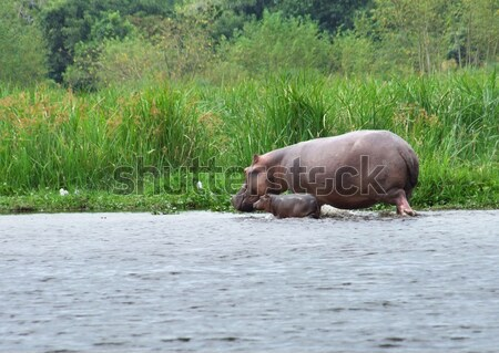 Hippo calf and cow in Uganda Stock photo © prill