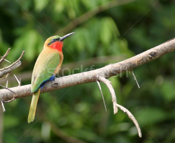 colorful Bee-eater sitting on a twig Stock photo © prill