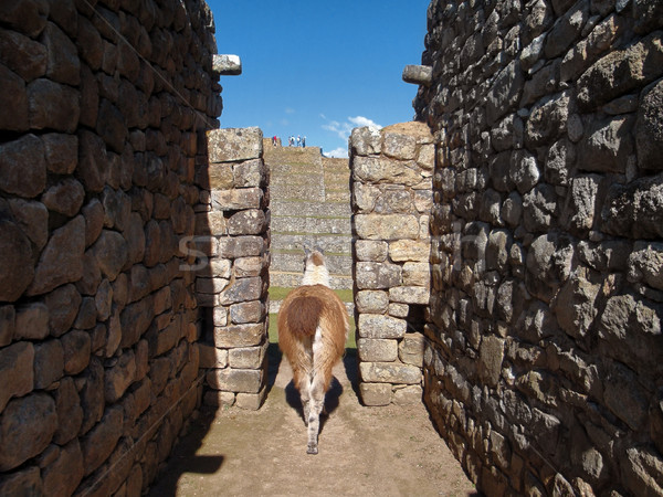 Llama at Machu Picchu Stock photo © prill