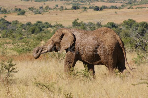 слон Ботсвана саванна декораций Африка природы Сток-фото © prill