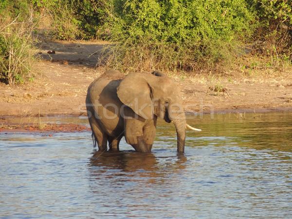 Fil Botsvana manzara Afrika su ahşap Stok fotoğraf © prill