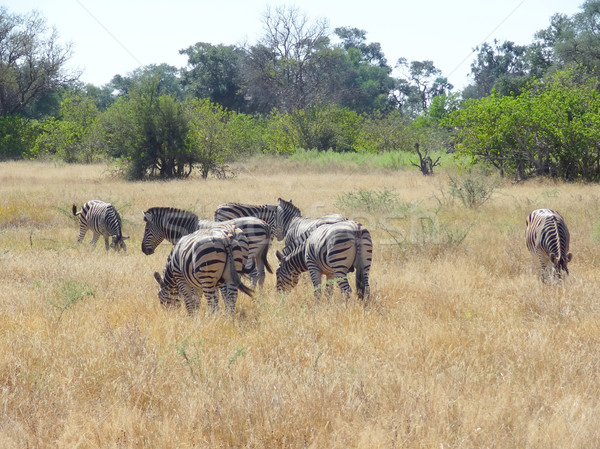 Zebras savana cenário Botswana Foto stock © prill