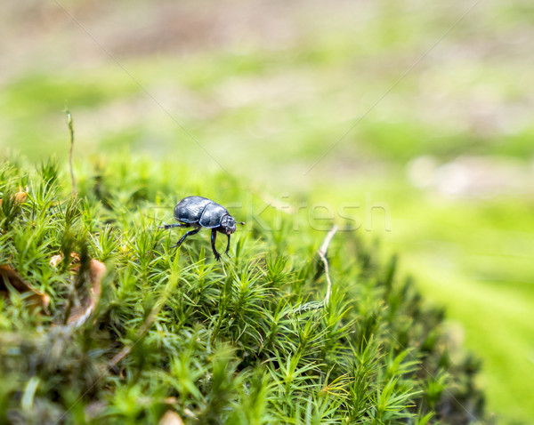 forest dung beetle Stock photo © prill