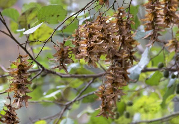 hornbeam seeds detail Stock photo © prill