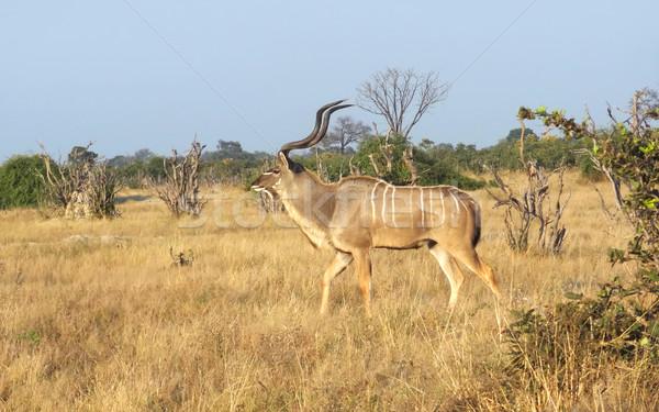 Greater Kudu Stock photo © prill