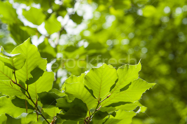 áttetsző zöld levelek full frame napos megvilágított friss Stock fotó © prill