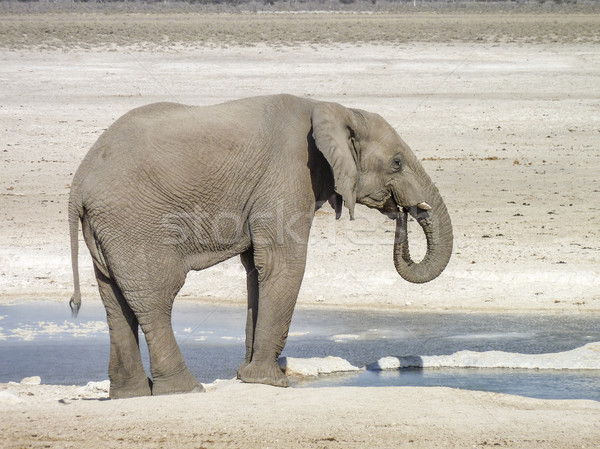 Africano arbusto elefante ensolarado savana cenário Foto stock © prill