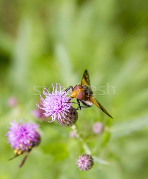 Pellucid Fly on flower Stock photo © prill