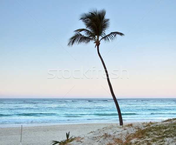 palm tree at evening time Stock photo © prill