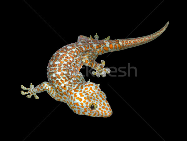 Tokay gecko Stock photo © prill