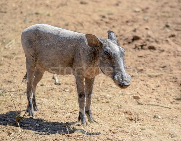 warthog in Namibia Stock photo © prill