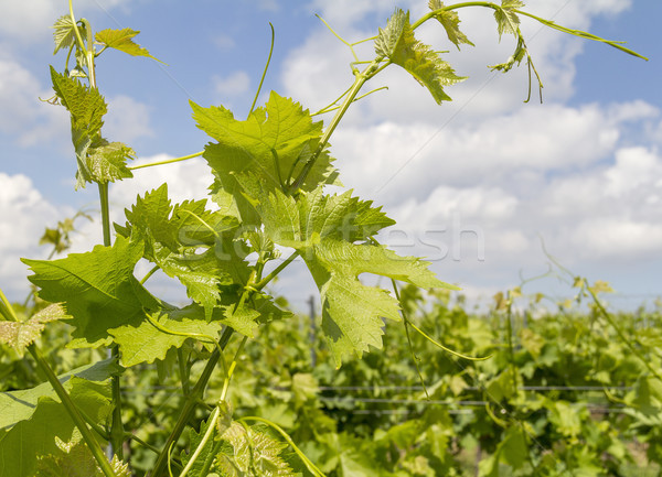 grapevine plant detail Stock photo © prill