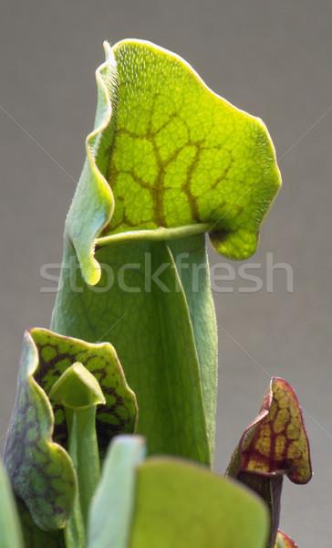 Húsevő növény részlet szürke hát levél Stock fotó © prill
