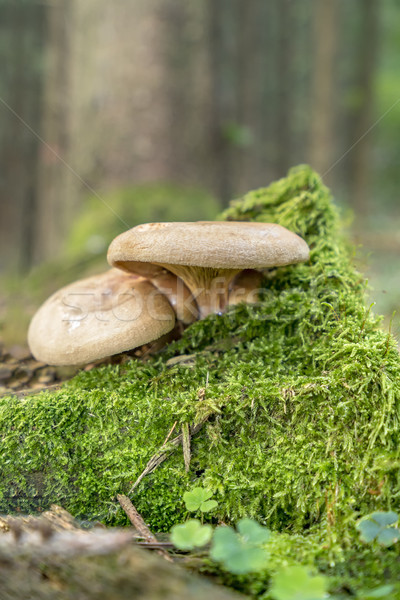 two mushrooms Stock photo © prill