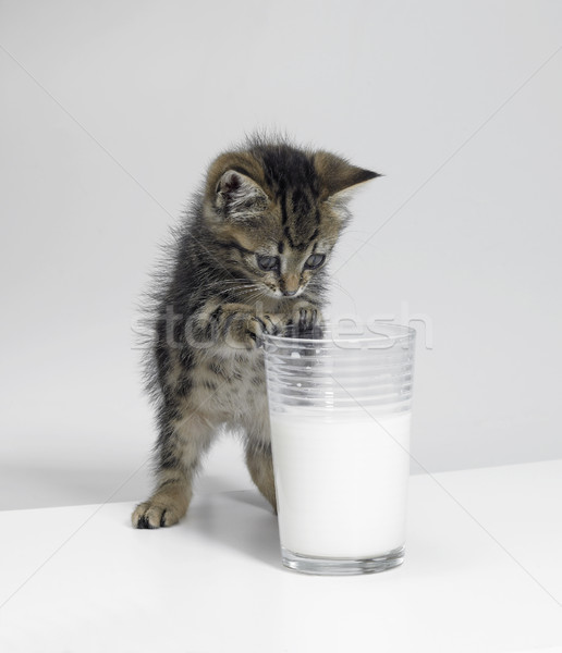 small kitten and a glass of milk Stock photo © prill