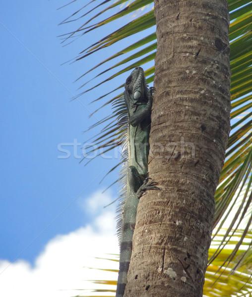 Groene leguaan palmboom strand caribbean avond Stockfoto © prill