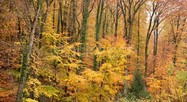 autumn forest Stock photo © prill