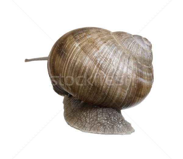 backside of a grapevine snail Stock photo © prill