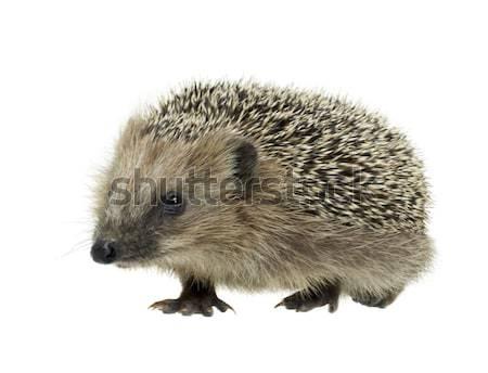 hedgehog Stock photo © prill