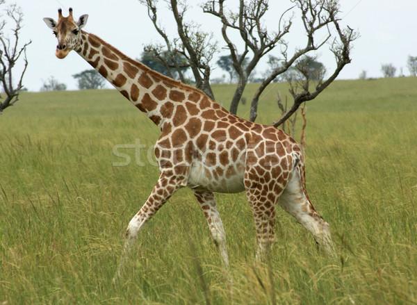 Giraffe walking through african savannah Stock photo © prill