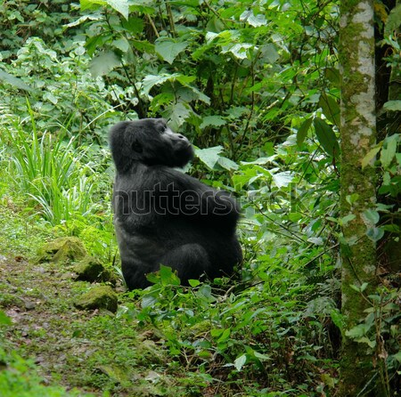 Mountain Gorilla in the rain forest Stock photo © prill