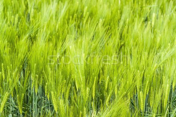 Cebada campo detalle fotograma completo verde primavera Foto stock © prill