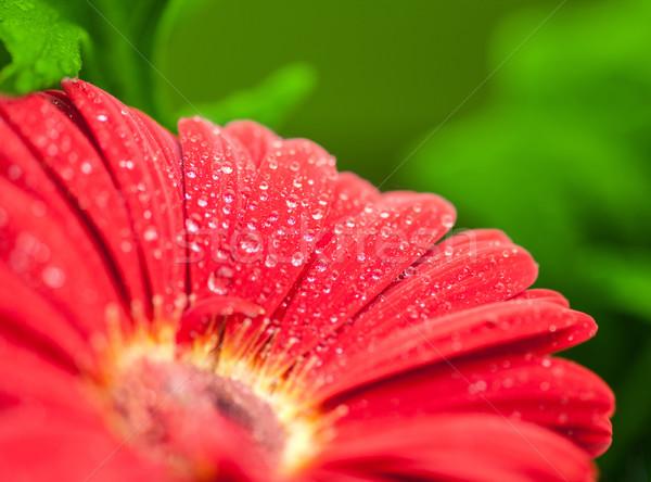 Mojado rojo flor primer plano detalle verde Foto stock © prill