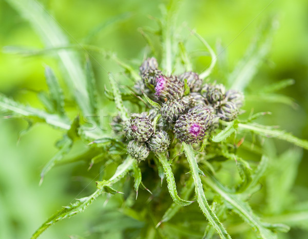 young thistle buds Stock photo © prill