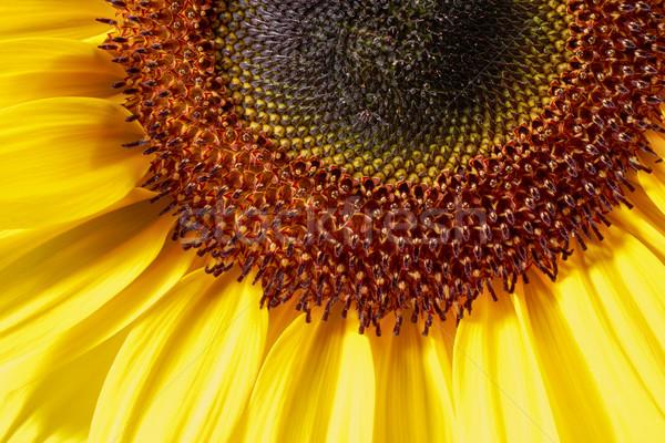 sunflower closeup shot Stock photo © prill
