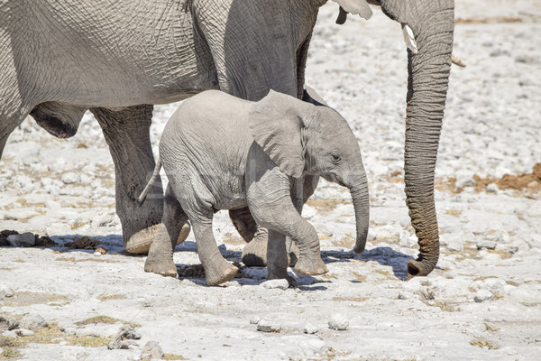 アフリカ 茂み 象 カブ 晴れた サバンナ ストックフォト © prill