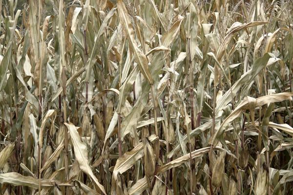 sere corn plants Stock photo © prill
