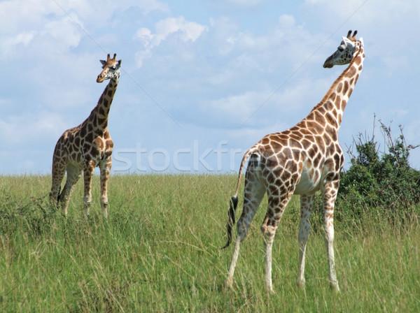 sunny scenery with Giraffes in Uganda Stock photo © prill