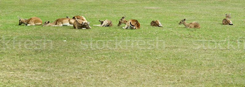 resting deers Stock photo © prill