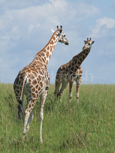 two Giraffes in african savannah Stock photo © prill