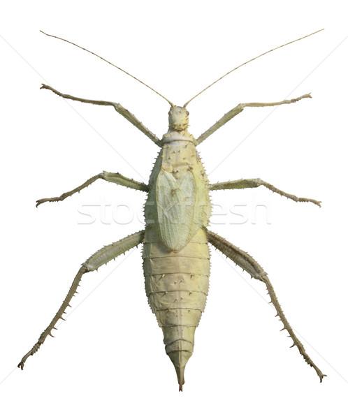 exotic female grasshopper Stock photo © prill