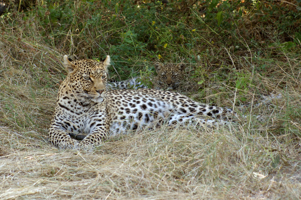 Leopar Botsvana zemin oyun rezerv Stok fotoğraf © prill