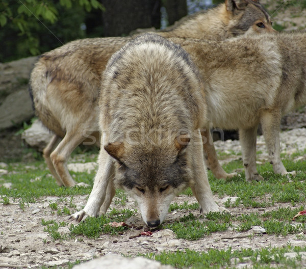 Gray Wolf devour some meat Stock photo © prill