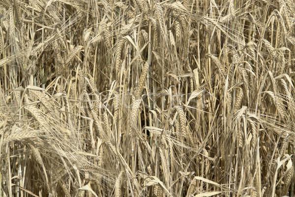 árpa mező részlet növény mezőgazdaság mag Stock fotó © prill