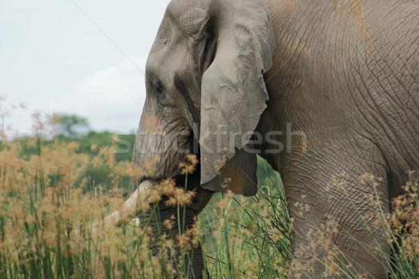 Elefante dettaglio Uganda africa piedi alto Foto d'archivio © prill