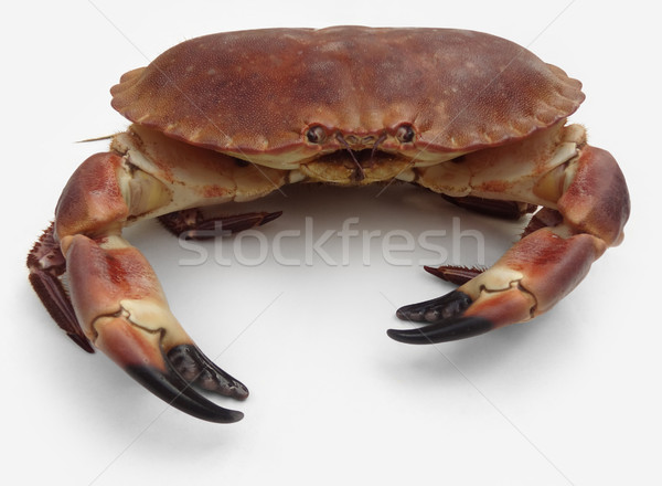 brown crab Stock photo © prill