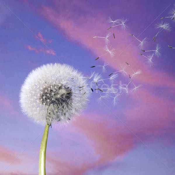 dandelion blowballin purple evening sky Stock photo © prill