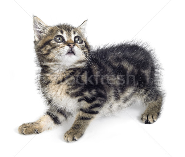 scared kitten Stock photo © prill