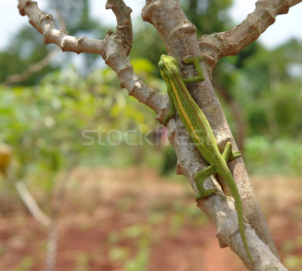 Chameleon on a bough in Africa Stock photo © prill