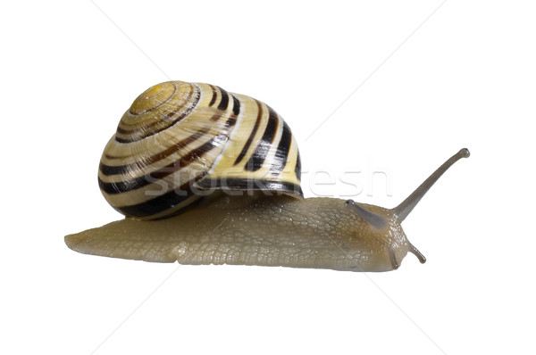 creeping grove snail Stock photo © prill