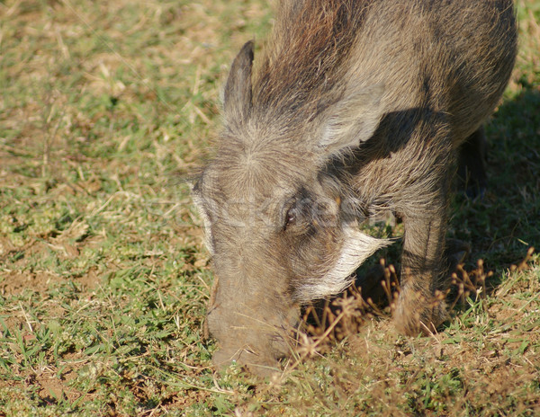 warthog in Africa Stock photo © prill