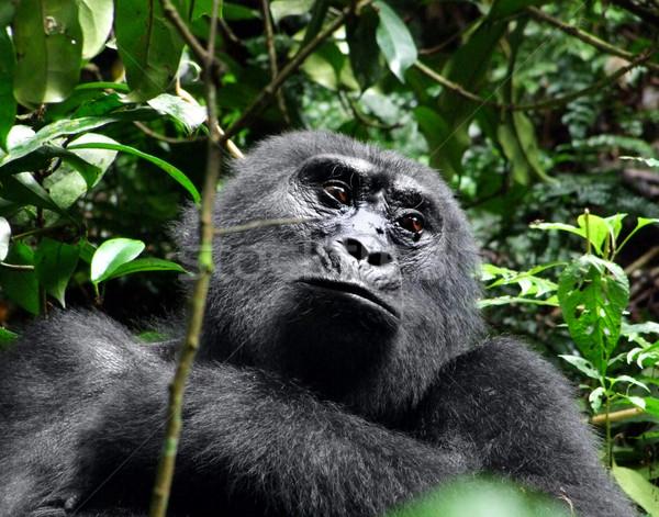 Gorilla portré hegy felhő erdő Uganda Stock fotó © prill
