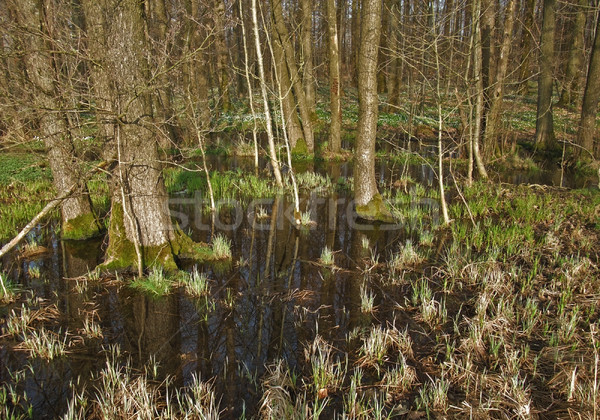 bog at evening time Stock photo © prill