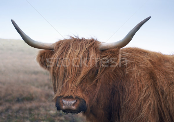 red brown Highland cattle Stock photo © prill